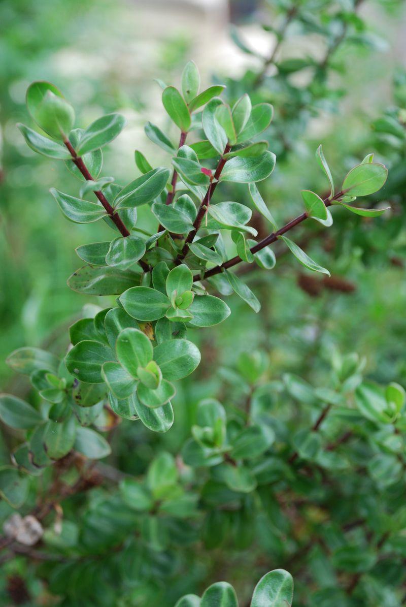 Spx_shrub1